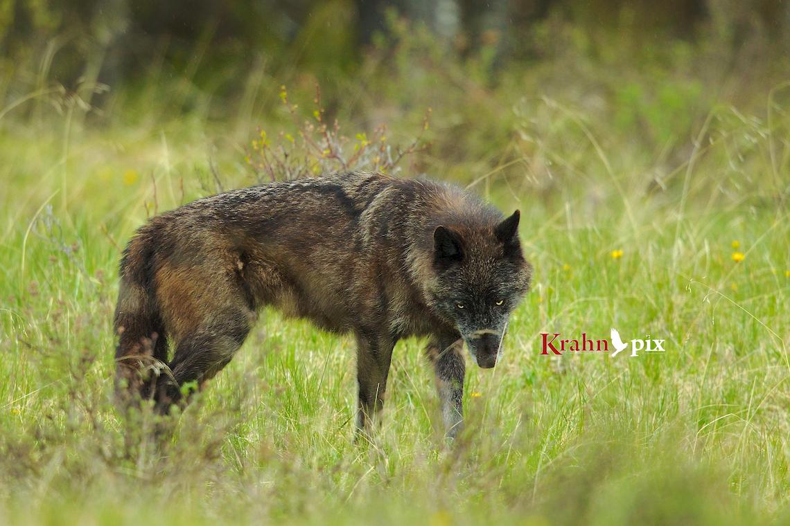 Wolf header logo 001