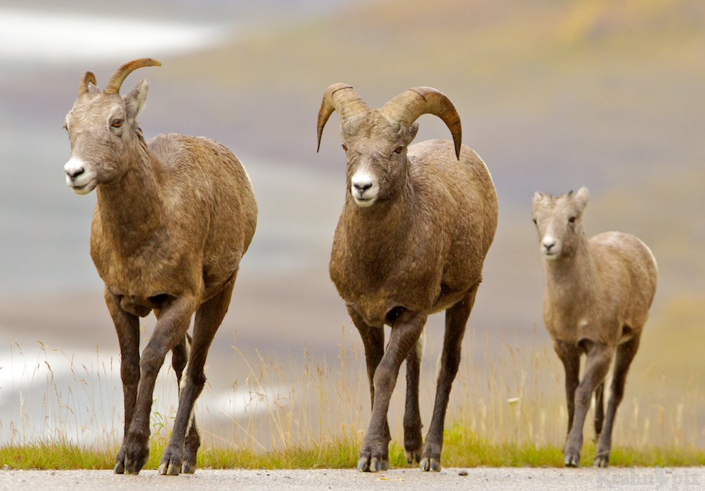 Rocky Mountain Sheep, Alberta,