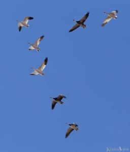 snow geese, flying, Saskatchewan