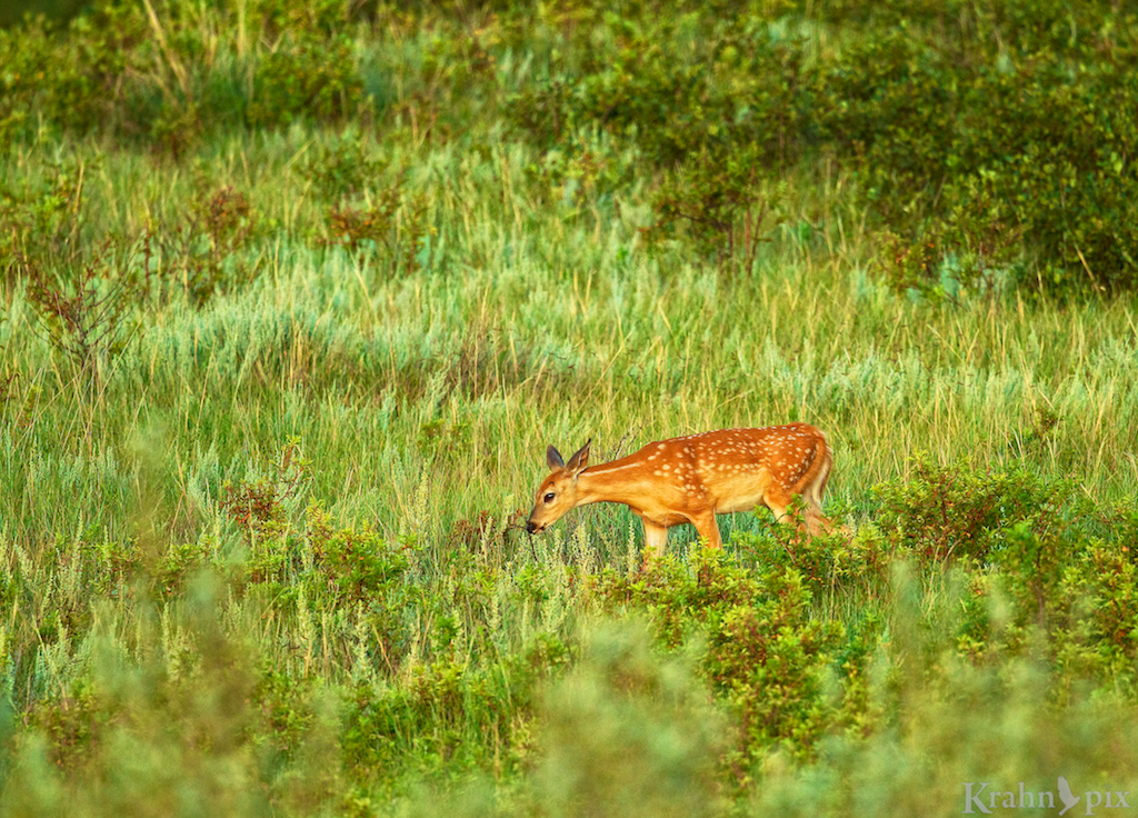 deer, fawn, Saskatchewan, field, magic light