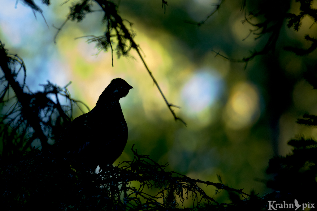 grouse, tree, Saskatchewan, silhouette