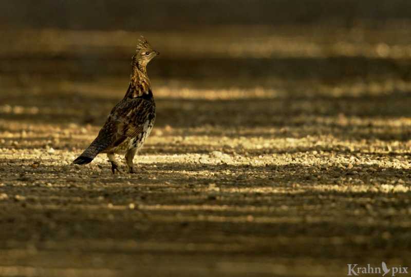 grouse, road, Saskatchewan, Prince Albert National Park