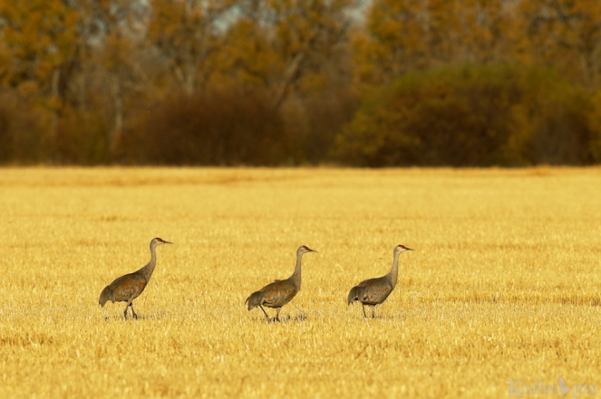 sandhill crane, Saskatchewan, field, walking,