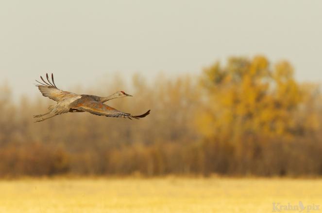 sandhill crane, flying, Saskatchewan,