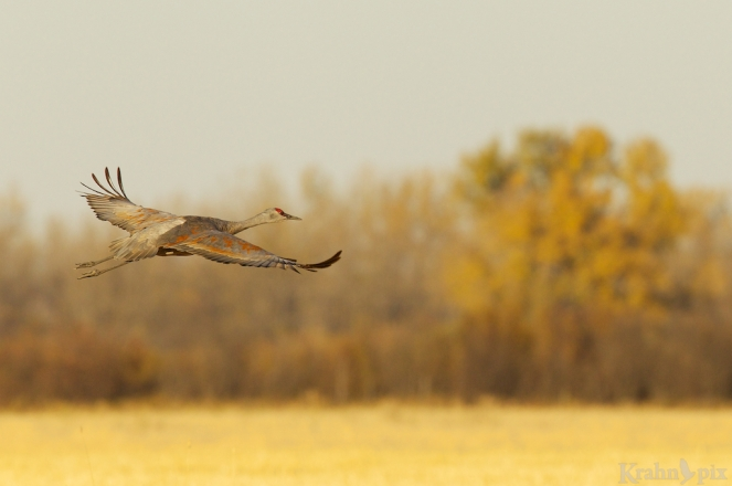 sandhill crane, flying, Saskatchewan,