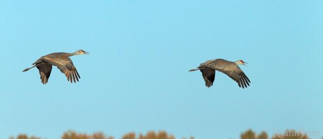 sandhill crane, Saskatchewan, flying, pair,