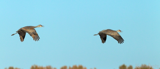 sandhill crane, Saskatchewan, flying, pair,