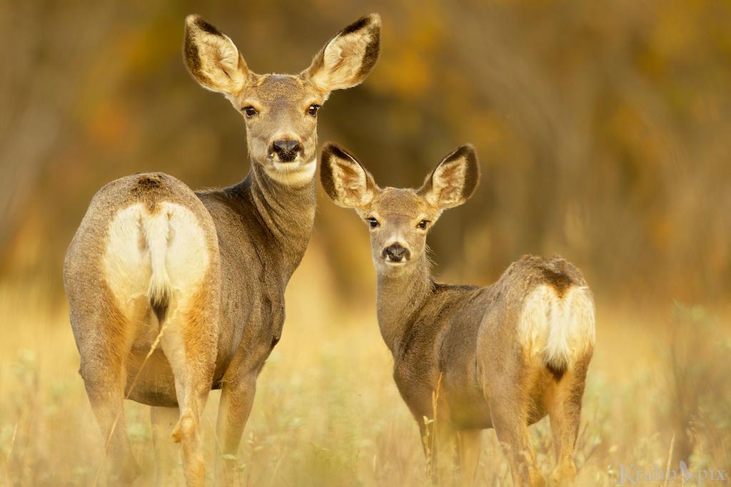 mule deer, doe, fawn, Saskatchewan,