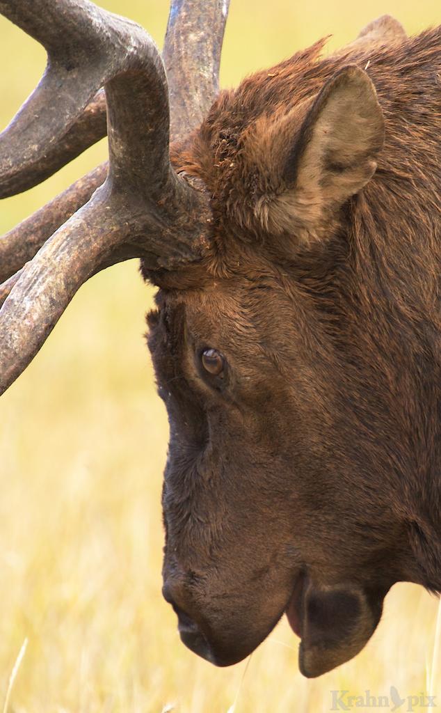 Elk, buck, prairie, Banff, antlers