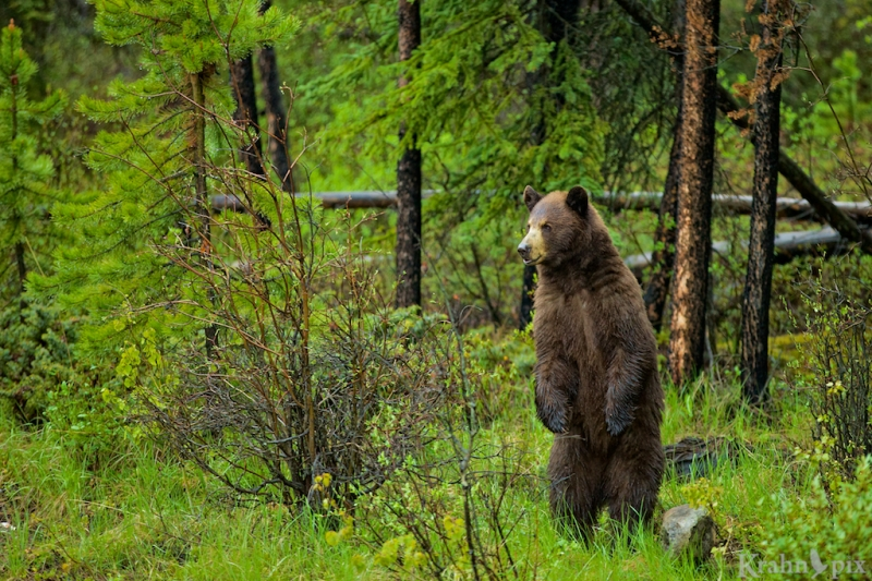 grizzly, cub, bear, standing