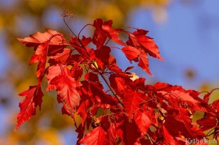 fall leaves, red, yellow