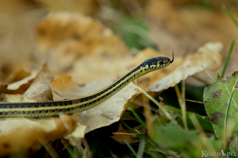 snake, garter snake, Saskatchewan, fall, leaves