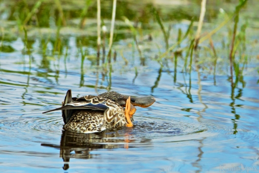 duck, itch, water, Saskatchewan, humor, humour,