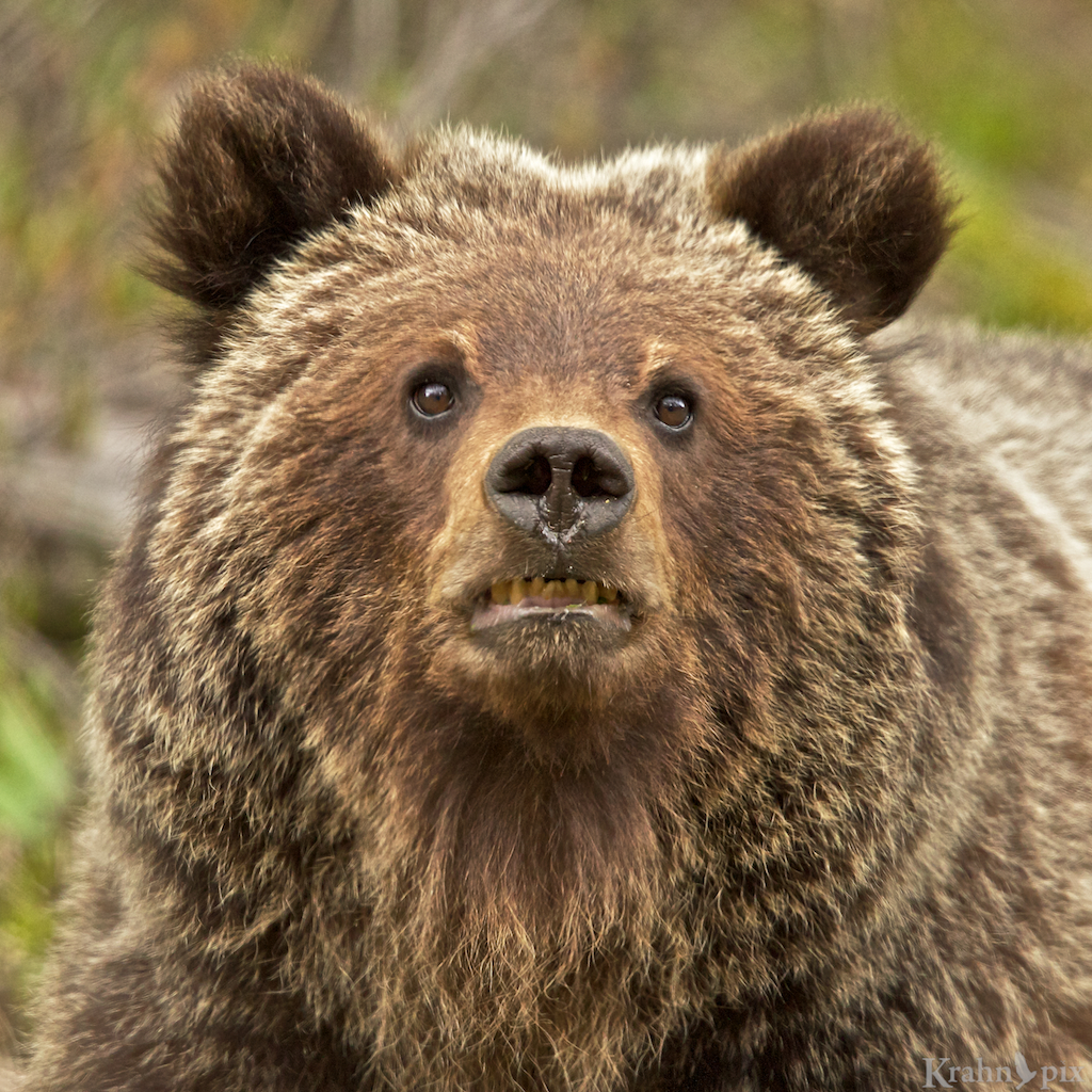Who would give bears human characteristics krahnpix i mean what were they thinking bears are menacing grizzly cub bear biocorpaavc Choice Image