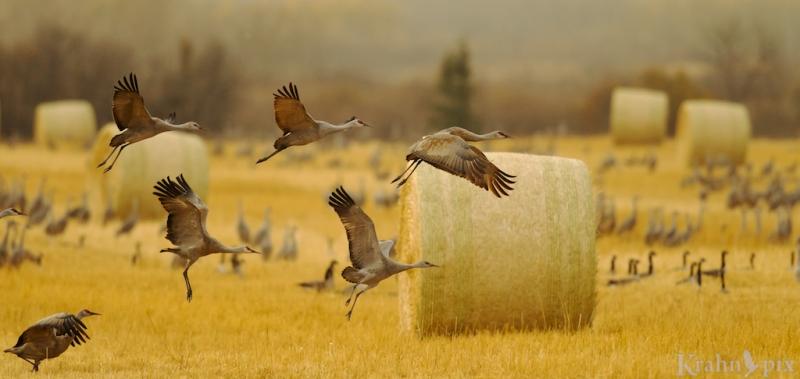 Sandhill crane, geese, Saskatchewan, combined field, bird, flock