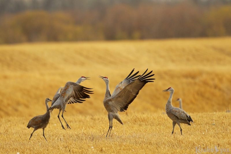 Sandhill Crane, Saskatchewan, fight, field