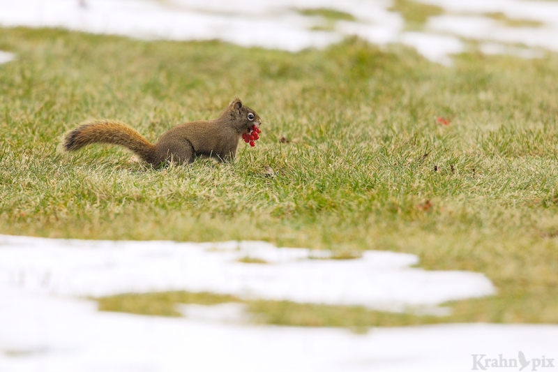 red squirrel, Saskatchewan, snow, berries