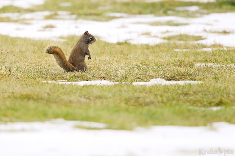 red squirrel, Saskatchewan, snow, standing