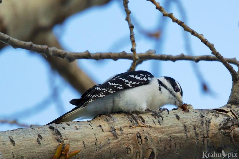 woodpecker, Saskatchewan, downy woodpecker, beak, tree