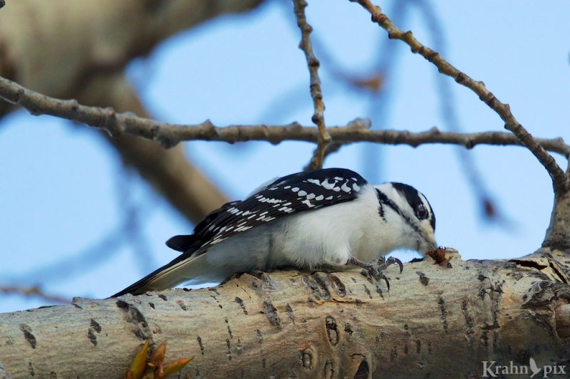 woodpecker, Saskatchewan, downy woodpecker, beak, tree
