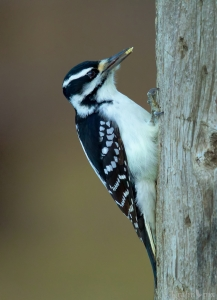 woodpecker, Saskatchewan, downy woodpecker, beak, tree, eating