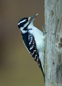 woodpecker, Saskatchewan, downy woodpecker, beak, tree, eating