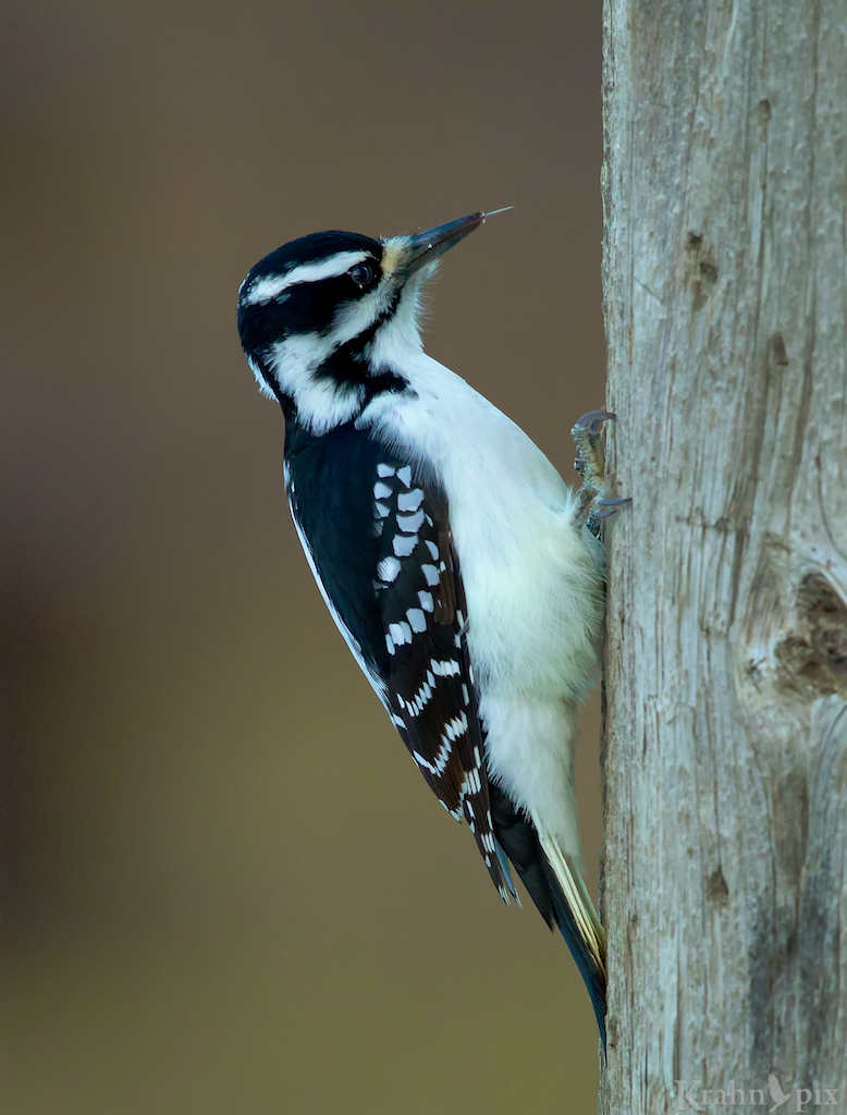 woodpecker, Saskatchewan, downy woodpecker, beak, tree, tongue