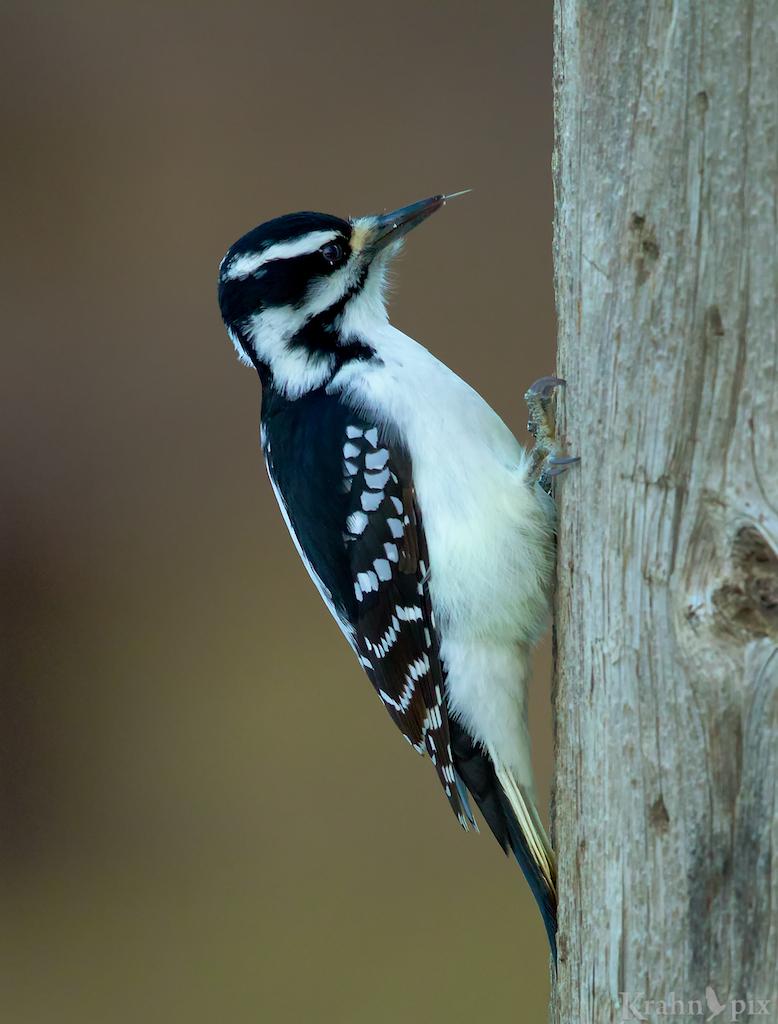 woodpecker, Saskatchewan, downy woodpecker, beak, tree, tongue