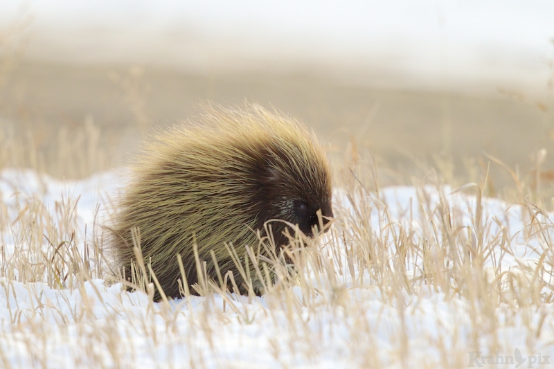 porcupine, Saskatchewan, winter, walk, snow, quill