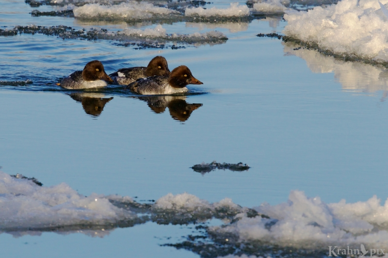 _T6C1823, common goldeneye, duck, water, ice