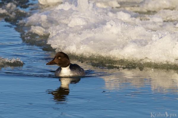 _T6C1881, Common GoldenEye, duck, water, ice, Saskatchewan