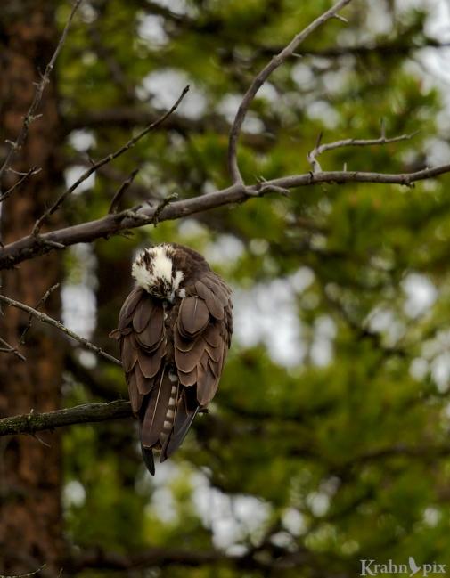 _T6C5975, Osprey, Banff, preening, tree