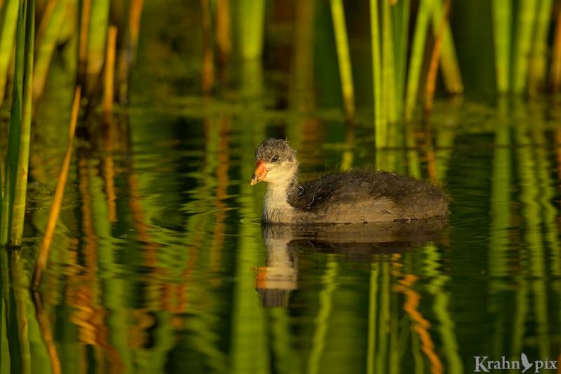 _T6C8191, American Coot, Saskatchewan, baby, chick, bulrush, water