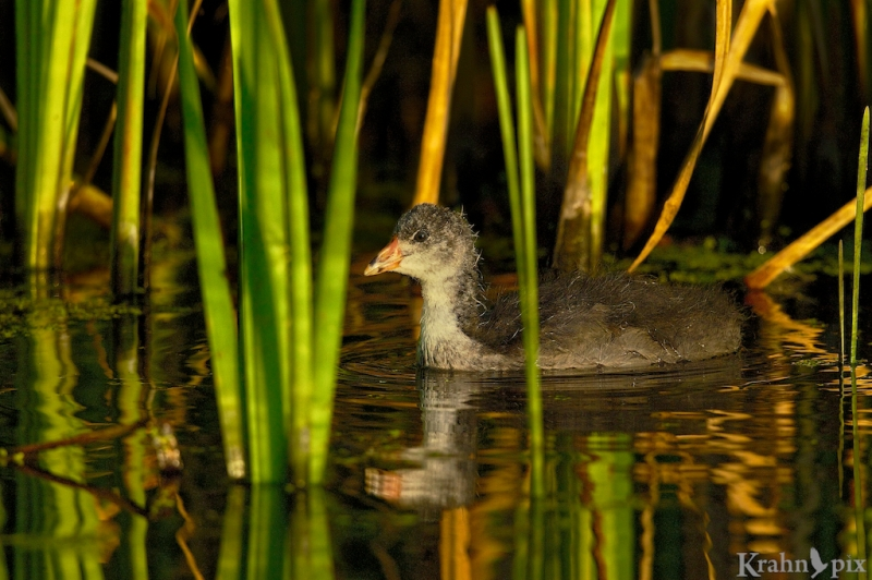 _T6C8203, American Coot, Saskatchewan, baby, chick, bulrush, water