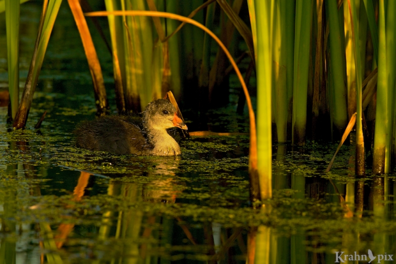 _T6C8210, American Coot, Saskatchewan, baby, chick, bulrush, water