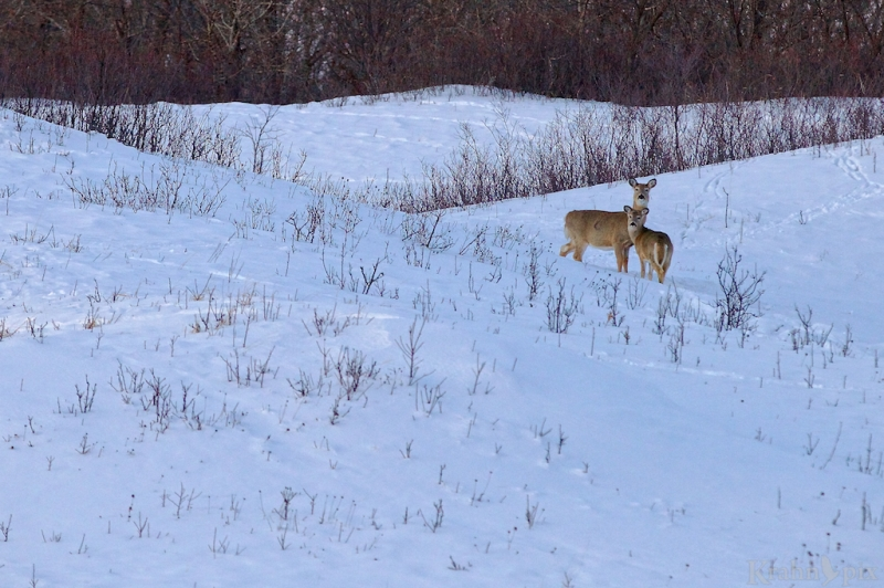 _MG_7070, deer, white tail deer, winter, Saskatchewan, snow,