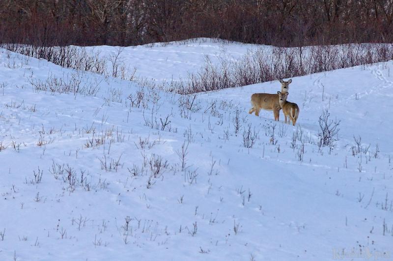 _MG_7070, deer, white tail deer, winter, Saskatchewan, snow,
