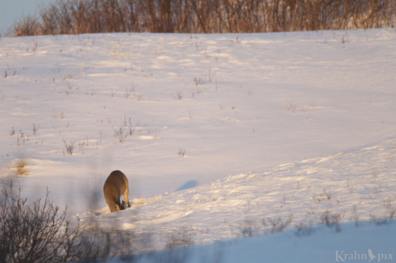 _T6C2238 deer, white tail deer, winter, Saskatchewan, snow,