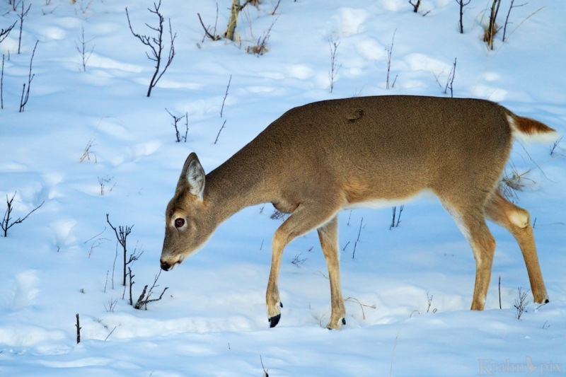 _T6C2290  deer, white tail deer, winter, Saskatchewan, snow,