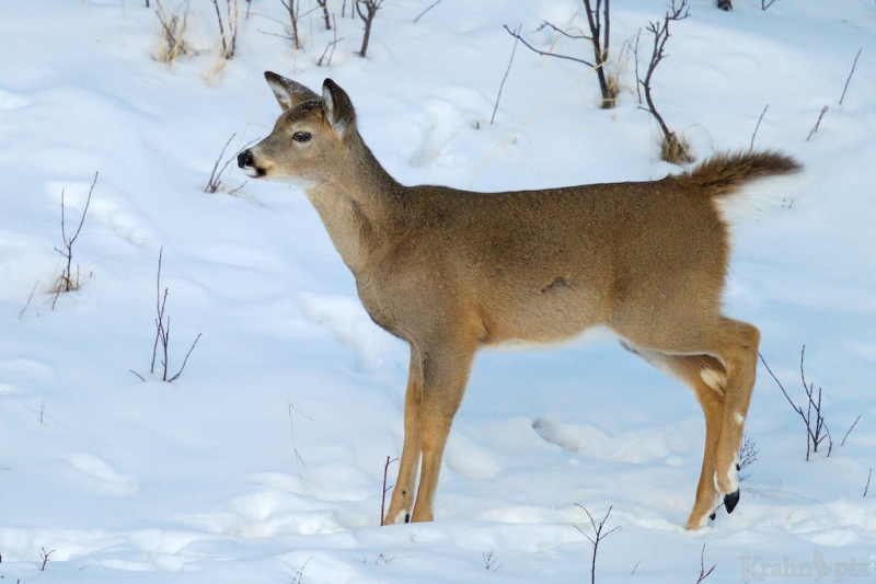 deer, white tail deer, winter, Saskatchewan, snow,