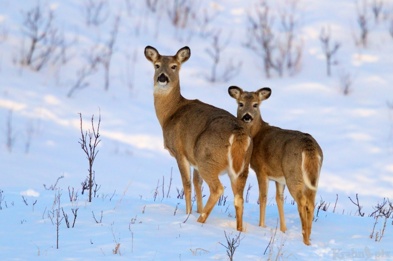 _T6C2320 deer, white tail deer, winter, Saskatchewan, snow,