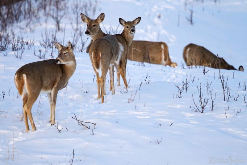 _T6C2335, deer, white tail deer, winter, Saskatchewan, snow,