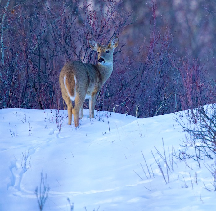 _T6C2367 (1), deer, white-tailed deer, winter, Saskatchewan, snow, looking back