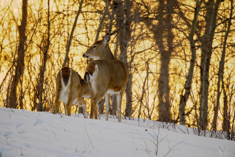 _T6C2479,  deer, white tail deer, winter, Saskatchewan, snow,