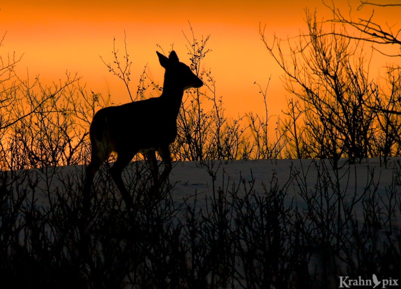_T6C2522,  deer, white tail deer, winter, Saskatchewan, snow, sunset, silhouette