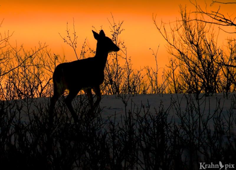 _T6C2522,  deer, white tail deer, winter, Saskatchewan, snow, sunset, silhouette