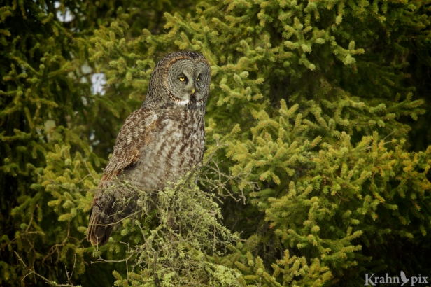 _T6C2713 (1), Great Grey Owl, Saskatchewan,