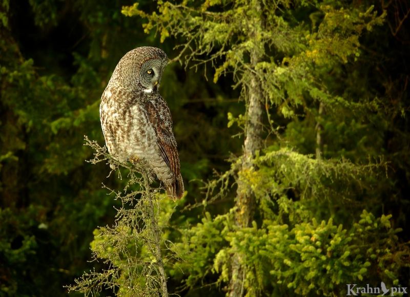 _T6C2780, Great Grey Owl, Saskatchewan,