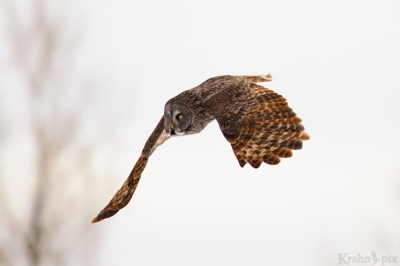 _T6C2834, Great Grey Owl, Saskatchewan, flying, flight