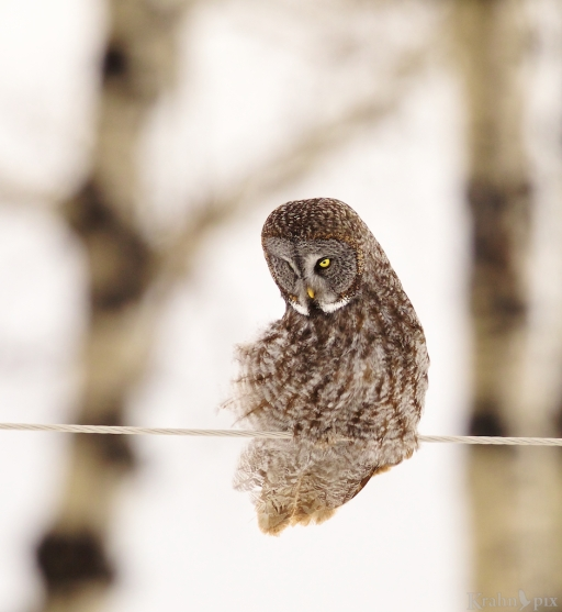 T6C2875, Great Grey Owl, Saskatchewan,